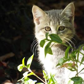 Hiding by Barbara Nuetzmann - Animals - Cats Kittens ( hiding kitten, kitten, grey kitten )