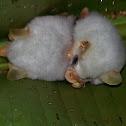 Ectophylla White Bats