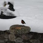 Robin Red Breast (European Robin)