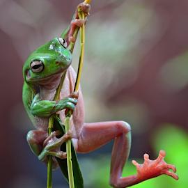 Flying frog by Sigit Purnomo - Animals Amphibians