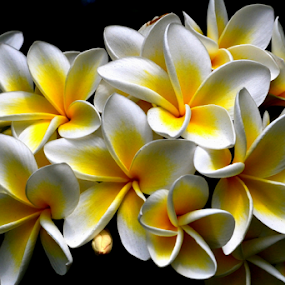 White Frangipani 54 by Mark Zouroudis - Flowers Flowers in the Wild (  )
