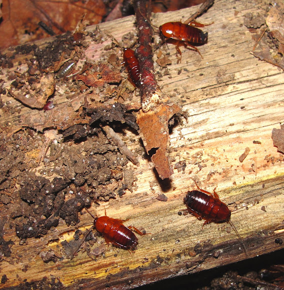 Pennsylvania wood cockroach diet