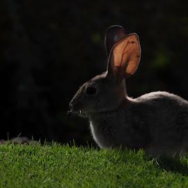 by Laura Johnston - Animals Other Mammals ( rabbit, bunny, arizona,  )