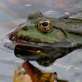 Frog .. by Dubravka Penzić - Animals Amphibians (  )