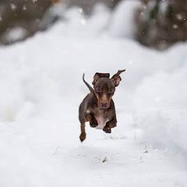 Jump by Chris Churchill - Animals - Dogs Running (  )
