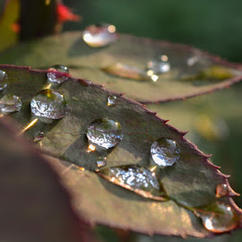 Raindrops  by Blagoja Pulceski - Nature Up Close Water ( nature, raindrops, leaf, close up, rain )