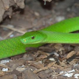 Green mamba     by Richard Booysen - Animals Reptiles