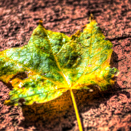 Yellow and Green leaf on red brick by Avery Benson - Nature Up Close Leaves & Grasses ( hdr, brick, green, yellow and green, long island, new york, yellow, ny )