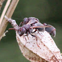 Dark-faced Brown Paper Wasp.