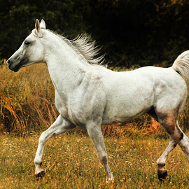 Arabian Power by Christiane Baur - Animals Horses ( stallion, horses, arabian horse, horse, white, grey, arabian,  )