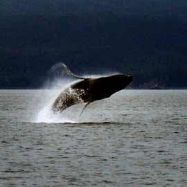 Whale Breach by Dave Skorupski - Animals Sea Creatures ( water, humpback, alaska, sea, ocean, whale,  )