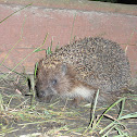 East European Hedgehog/White-bellied Hedgehog/White-chested Hedgehog