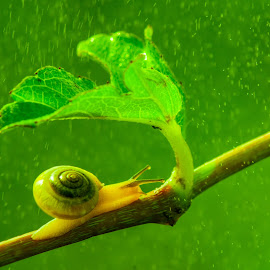 snail in the rain by Sofyan Ian - Animals Other