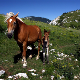 Mare with a colt by Simon Kovacic - Animals Horses ( mare, hors, colt,  )
