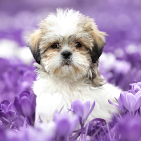 Perro by Azzeria Photography - Animals - Dogs Puppies ( pet photography · purple · beautiful · white · shih tzu · beauty · cute · field · azzeria · pet · pets · puppy · adorable · flowers · azzeria photography · flower · assen )