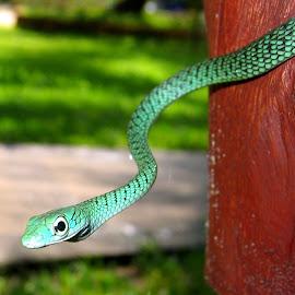 Snake on a Post by DJ Cockburn - Animals Reptiles ( philothamnus semivariegatus, snake, zanzibar, scales, green, spotted bush snake, tropical, africa, reptile, tanzania )