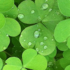 Rain drops by Khalid Farooq - Instagram & Mobile iPhone ( water, leafs, green. summer, rain,  )