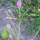 Purple prairie-clover