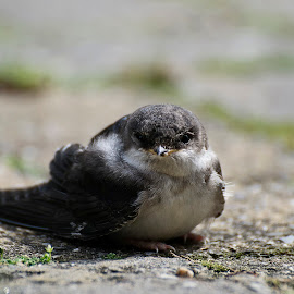 Young swallow by Wendy Faber - Novices Only Macro