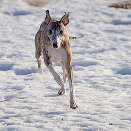 Whippet by Marius Birkeland - Animals - Dogs Running ( dogs, snow, dog, running, whippet )