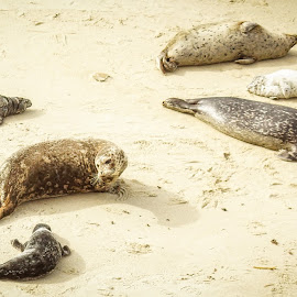 Not The Mama by Evan Jones - Animals Sea Creatures ( seal, sea lion, funny, wildlife, ocean, beach )