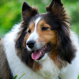 Lucy the Wonder Dog by Lisa Rath - Animals - Dogs Portraits ( laughing, white, brown, sheltie, portrait,  )