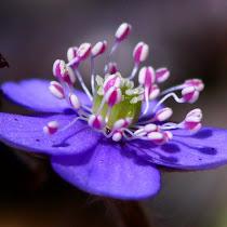 Flowers of Europe