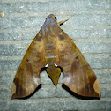 Fig Sphinx Moth