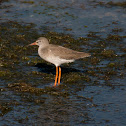 Perna vermelha (Common Redshank)