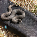 Melanistic Common European Adder