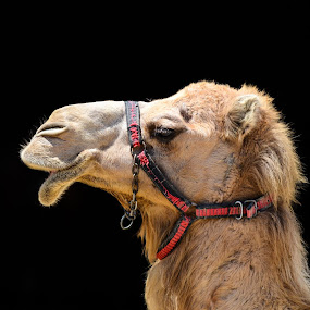 by Christos Psevdiotis - Animals Other Mammals ( camel, mouth, portrait )