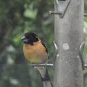 Black headed grosbeak(male)