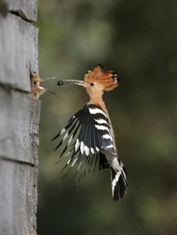 Israel national bird Hooppe picture