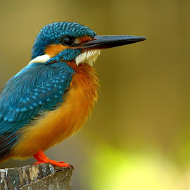 Common Kingfisher by Abinav Shankar - Animals Birds ( bird, commonkingfisher, bluebird, kingfisher, orangeplumage, birds,  )