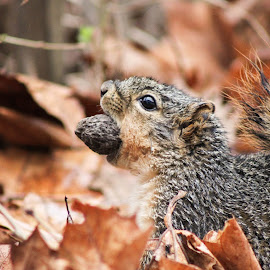 Finally got its food.! by Arvind Ragiphani - Animals Other ( sciuridae, foxsquirrel, easternfoxsquirrel, squirrel )