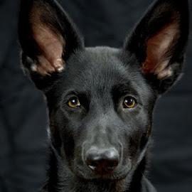 4 month old German Shepherd by Dianna Conklin - Animals - Dogs Puppies ( black dog, puppy, german shepherd, dog )