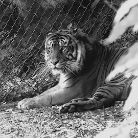 by Erica Henry - Animals Lions, Tigers & Big Cats