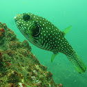 Stripebelly puffer