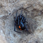 Southern black widow (female)