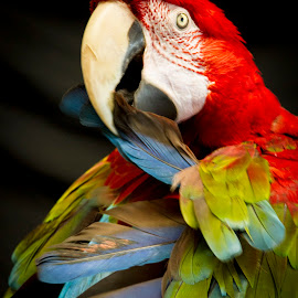 Green Winged Macaw 2 by Bonnie Marquette - Animals Birds ( winged, bird, nature, avian, green, pet, parrot, portrait, animal, macaw )
