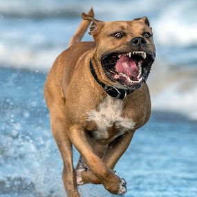 by Harold Blum - Animals - Dogs Running