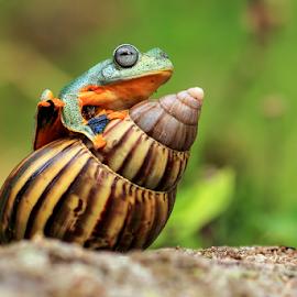 Frog on Snail by Darmawan Fauzi - Animals Amphibians ( frog, amphibian, snail )