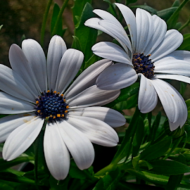 by Dipali S - Instagram & Mobile Android ( nature, flora, white, daisy, flower )