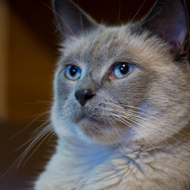 Siamese by Charles Birch - Animals - Cats Portraits ( cat, siamese cat, siamese )