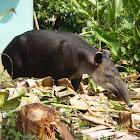 Baird's tapir