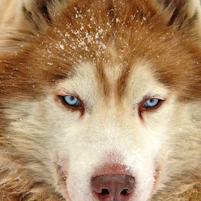 Honest blue eyes by Name of Rose - Animals - Dogs Portraits ( husky dogs animals portrait )