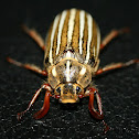 Ten-lined June beetle
