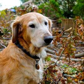 Kelly Lucille by Mo Harmon - Animals - Dogs Portraits ( pose, autumn, dog, portrait, golden retriever,  )