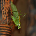 Northern Bush Katydid