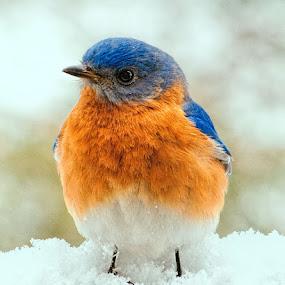 Bluebird in the snow by Lowell Griffith - Animals Birds ( bird, bluebird, snow,  )